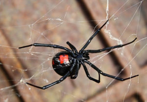 A Prophetic Vision Of Jezebels Pet The Black Widow Spider